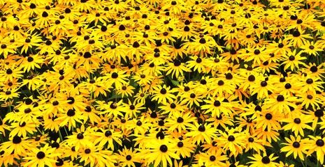 A sunny field with Black-eyed Susans