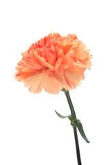 Pink orange Carnation