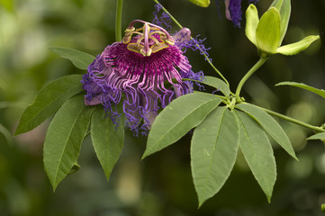 Purple and pink Passion flower