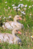 Youngsters of white-fronted goose poster