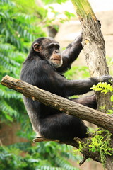 chimp on tree