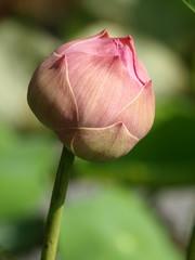 Close up pink lotus in lotus pond