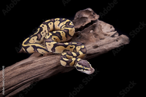 Baby Ball or Royal Python, Firefly morph, on a piece of wood