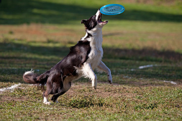 Dog playing with flying saucer