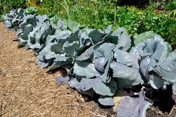 cabbage plants in vegetable garden