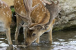 Male stag deer drinking water