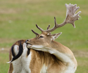 Rear view of a male stag itching his back