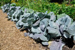 cabbage plants in vegetable garden