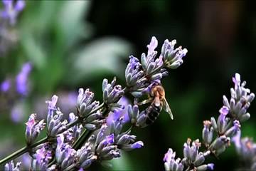 Lavendelblüten und fleissige Bienen - NTSC