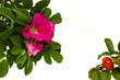 wild roses frame isolated on wnite background