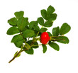 rosehip isolated on white background