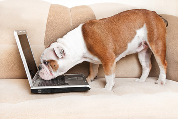 English bulldog sitting a couch with notebook