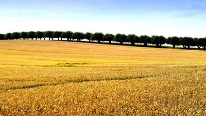 Getreidefeld vor Baumallee