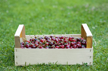 Crate of Juicy cherries.