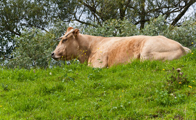 Light brown cow lying on a green embankment