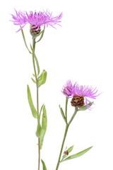 Cornflower (Centaurea scabiosa)