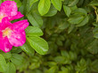 dog rose flowers and leaves as background