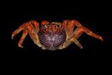Saltwater crab poster