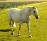 Weißes Pferd auf einer Koppel