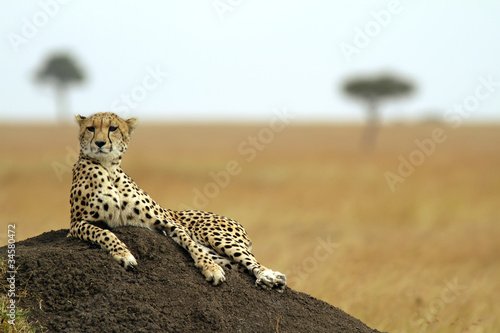 Cheetah on the Masai Mara in Southwestern Kenya