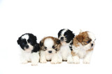 A group of four shih tzu puppies - 34582831