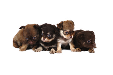 A group of chihuahua puppies in studio