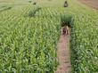 Leinwanddruck Bild - Maislabyrinth