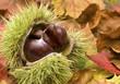 Frische Kastanien auf Herbstblättern