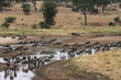 Troupeau de gnous à la rivière