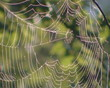 Dewy cobweb hanging on branches of tree swinging in the wind.