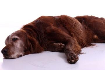 liegender Hund Irish Setter alt und krank