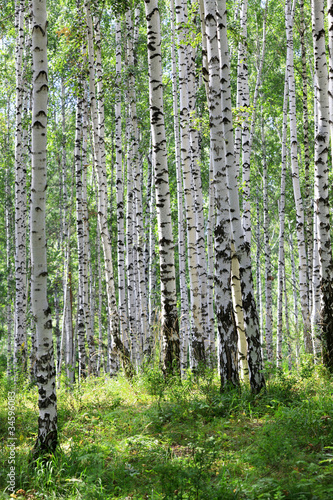 summer green birch forest