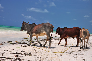 mucche zanzibarine
