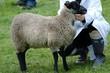 Sheep at country fair