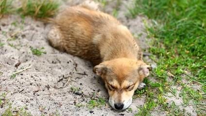 Собака спит на земле