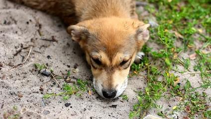 Уставший щенок отдыхает лежа на песке