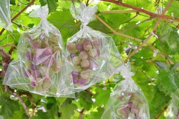袋かけのブドウ
