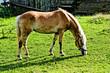 haflinger horse