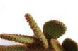 Kaktus im Detail
