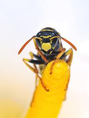 Detalle de una avispa sobre una flor.