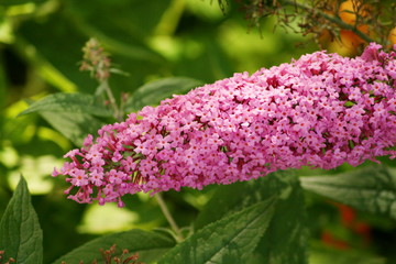 Blütenstand der Buddleja