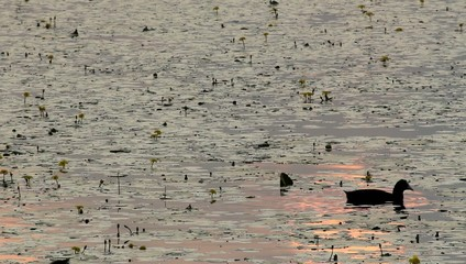 coot at sunset searching food