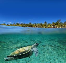 Turtue de mer dans l'eau d'un lagon.