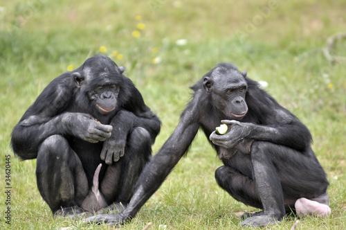 Foto op Canvas Aap Bonobos