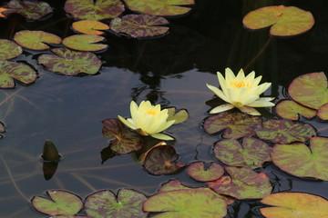водяные лилии в пруду
