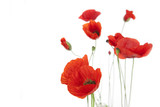 Poppies isolated on white background / focus on the foreground /