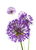Fototapety Beautiful Allium Fliwers / abstract  on white