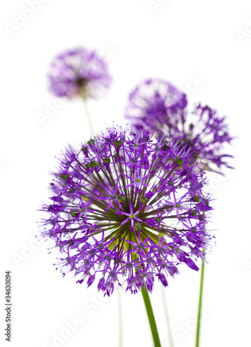 Beautiful Allium Fliwers / abstract  on white