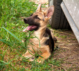 german shepherd in front of a natural green background