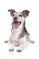 old and blind jack russel terrier